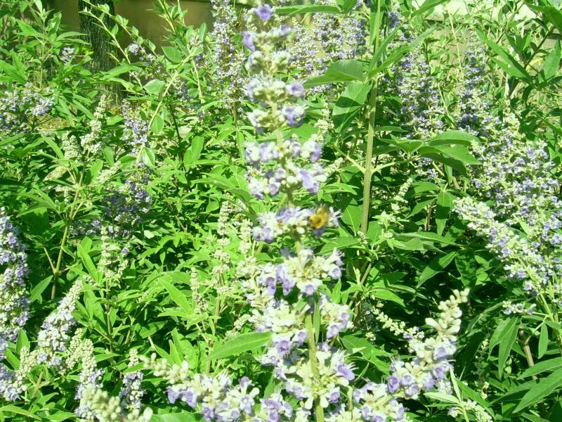 westringia fruticosa vitex Dans le Var 83
